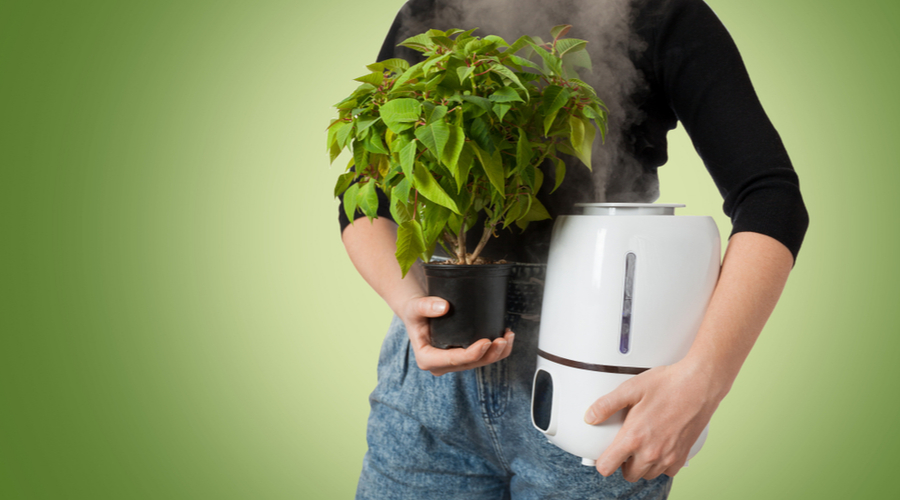 plant for air purification and humidifier